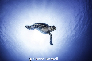 Hawksbill flying out of a sun ball! by Chase Darnell